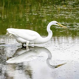 Beautiful Great Egret Searching for Breakfast  by Ricky L Jones