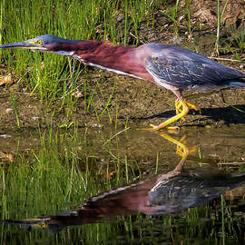 Beautiful Green Heron on the Hunt by Ricky L Jones