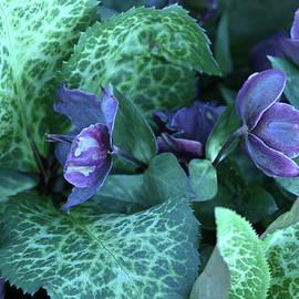 Beautiful Lenten Rose by Robert Tubesing