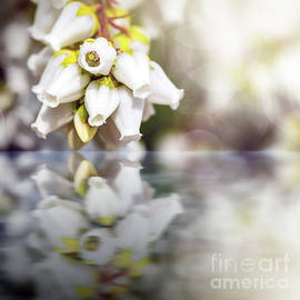 Beautiful Pieris Japonica flowers blossoming in spring water reflection by Gregory DUBUS