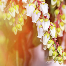 Beautiful Pieris Japonica small white flowers close-up blossoming in spring by Gregory DUBUS
