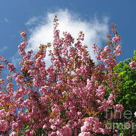 Beautiful Pink Blossoms of Spring by Kathryn Jones