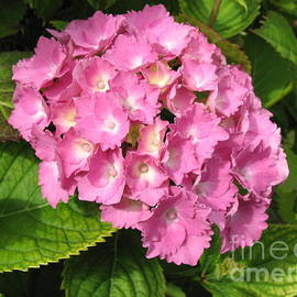 Beautiful Pink Hydrangea Blossom by Kathryn Jones