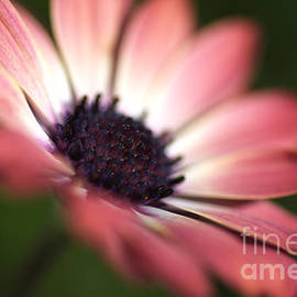 Beautiful Rich African Daisy Zion Red Flower by Joy Watson