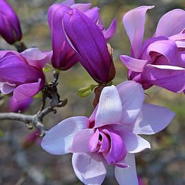 Beautiful Spring Magnolias by Robert Tubesing