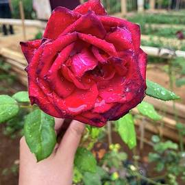 Beautifull close-up Red Rose for gift by Arief Fauzan
