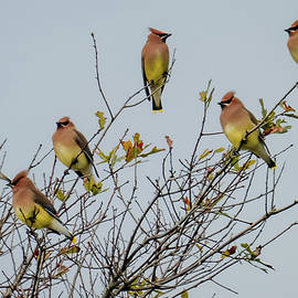 Beauty Of The Waxwing by Karen Wiles