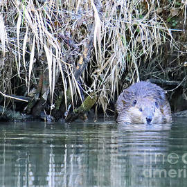 Beaver Into The River by Steve Gass