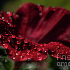 Bedazzled Red Petunia by Linda Howes