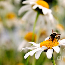 Bee at work by Chris Bee Photography