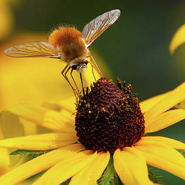 Bee Fly on Black-eyed Susan