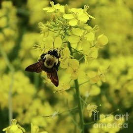 Bee Nectaring by Atiqur Rahman