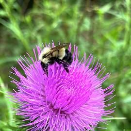 Bee On Beautiful Thistles by Jeffrey Koss