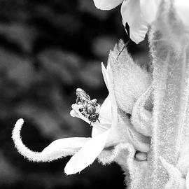 Bee on Mullein by Jessica Mumford