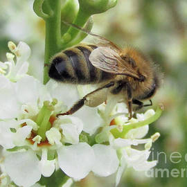 Bee On White Flowers by Kim Tran