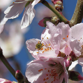 Bee Still My Heart 1 - Almond Blossoms and Bee - Floral Photographic Art by Brooks Garten Hauschild