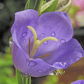 Bell Flower After Morning Rain by Kim Tran