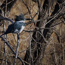 Belted Kingfisher 5 by Ernie Echols
