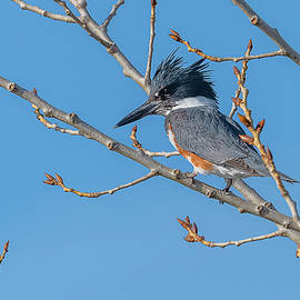 Belted Kingfisher Perched by Morris Finkelstein