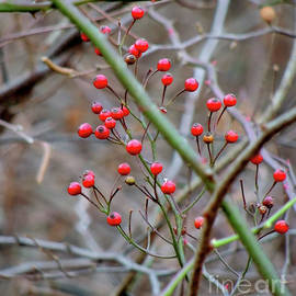 Berry Bright by Maurice Hebert