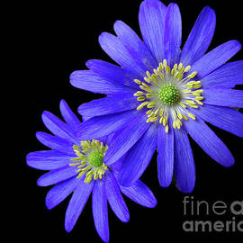 Bi-color Beauties by Kathryn Jones