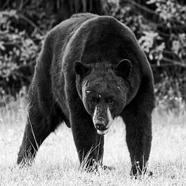 Big Cypress Black Bear by Felipe Correa