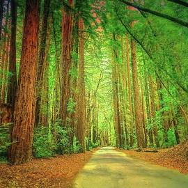 Big Sur Redwoods by Christina Ford
