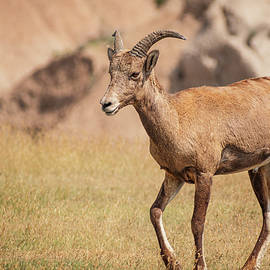 Bighorn by Isolated Lens