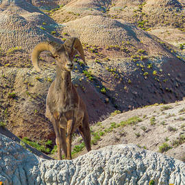 Bighorn Sheep - Standing Tall by Patti Deters