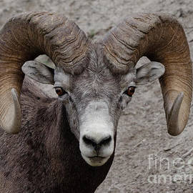 Bighorn Stare Down by Bob Christopher