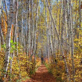 Birch Path Blue Sky Autumn by Chris Whiton