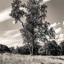 Birch Tree in Summer at Quabbin Reservior BW by Michael Saunders