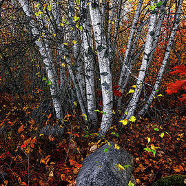 Birches and Autumn Color 2 by Marty Saccone