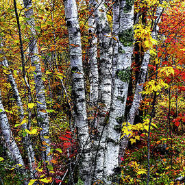 Birches and Autumn Color by Marty Saccone