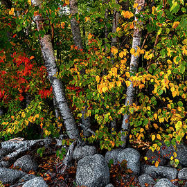 Birches and Boulders Autumn Display by Marty Saccone