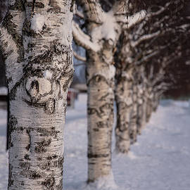Birches in a Row by Marylou Badeaux