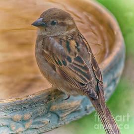 Bird Bath Sparrow by Janice Pariza