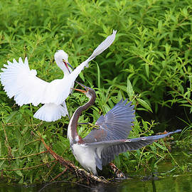 Bird Fight by Jerry Griffin