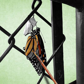 Birth of a monarch SC by Christopher Haire