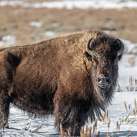Bison Along the Gros Ventre River by Douglas Wielfaert