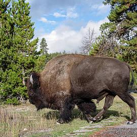Bison crossing the walkway  by Jeff Swan