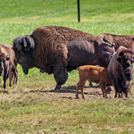 Bison Family 02 by Mike Penney