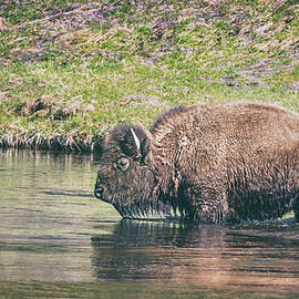 Bison in the River Yellowstone National Park by Joan Carroll