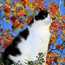 Black And White Cat With Autumn Leaves  by Constance Lowery