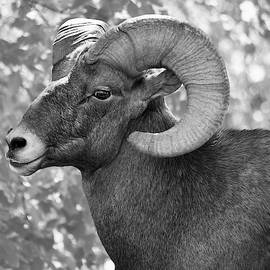 Black and White Colorado Bighorn Sheep by Richard Bryce and Family