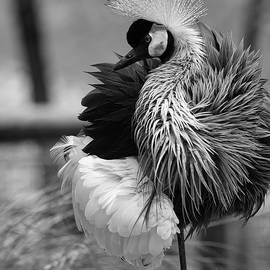 Black and White Crane by Scott Burd