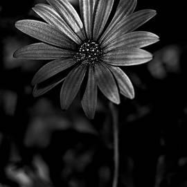 Black and white daisy by Al Fio Bonina