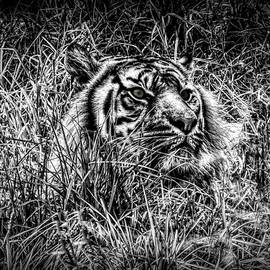 Black And White Tiger In Grass by Joan Stratton