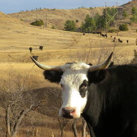 Black Baldy Cow by Katie Keenan