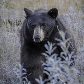 Black Bear in Meadow by Webb Canepa
